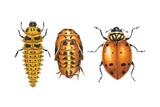 Ladybird Beetle Larva  Pupa and Adult (Coccinellidae)  Ladybug  Insects