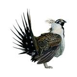 Sage Grouse (Centrocercus Urophasianus)  Birds