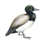 Greater Scaup (Aythya Marila)  Duck  Birds