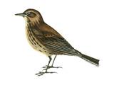 Pipit (Anthus Spinoletta)  Birds