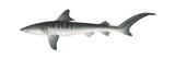Tiger Shark (Galeocerdo Cuvieri)  Fishes
