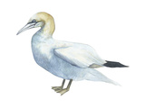Northern Gannet (Morus Bassanus)  Birds