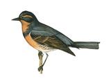 Varied Thrush (Ixoreus Naevius)  Birds