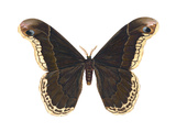 Promethea Moth (Callosamia Promethea)  Insects