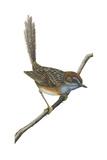 Southern Emu-Wren (Stipiturus Malachurus)  Birds