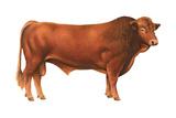 Gelbvieh Bull  Beef Cattle  Mammals
