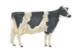 Holstein-Friesian Cow  Dairy Cattle  Mammals