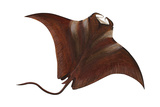 Manta (Manta Birostris)  Fishes