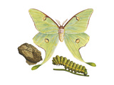 Luna Moth  Caterpillar  and Pupae (Actias Luna)  Insects