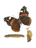 Red Admiral Butterfly  Caterpillar  and Pupae (Vanessa Atalanta)  Insects