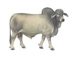 Brahman Bull  Beef Cattle  Mammals