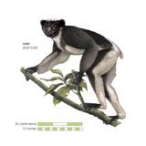 Indri (Indri Indri)  Lemur  Mammals