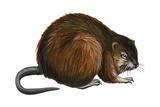 Muskrat (Ondatra Zibethica)  Mammals
