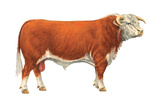 Hereford Bull  Beef Cattle  Mammals