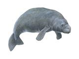 Dugong (Dugong Dugon)  Mammals