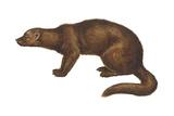 Fisher (Martes Pennanti)  Mammals