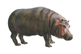 Common Hippopotamus (Hippopotamus Amphibius)  Mammals