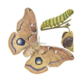 Polyphemus Moth and Caterpillar (Antheraea Polyphemus)  Insects