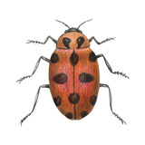 Twelve-Spotted Ladybird Beetle (Hippodamia Convergens)  Insects