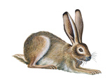 Jackrabbit (Lepus Townsendi)  Mammals