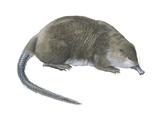 Desman (Desmana Moschata)  Mammals