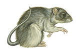 Common Domestic Rat (Rattus Norvegicus)  Mammals
