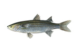 Mullet (Mugil Cephalus)  Fishes