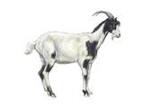 Domestic Goat (Capra Hircus)  Mammals