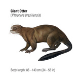 Giant Otter (Pteronura Brasiliensis)  Mammals