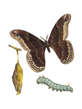 Promethea Moth  Caterpillar  and Pupae (Callosamia Promethea)  Insects