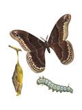 Promethea Moth  Caterpillar  and Pupae (Callosamia Promethea)  Insects