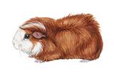 Guinea Pig (Cavia Cobaya)  Mammals