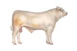 Charolais Bull  Beef Cattle  Mammals