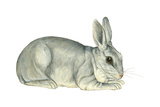 Domestic Rabbit (Oryctolagus Cuniculus)  Mammals