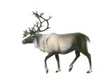 Woodland Caribou (Rangifer Tarandus Caribou)  Mammals