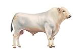 Chianini Bull  Beef Cattle  Mammals