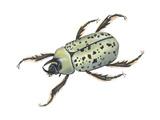 Rhinoceros Beetle (Dynastes Tityus)  Unicorn Beetle  Insects
