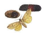 Isabella Tiger Moth  Caterpillar and Pupae (Pyrrharctia Isabella)  Insects