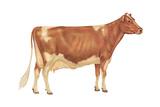 Guernsey Cow  Dairy Cattle  Mammals
