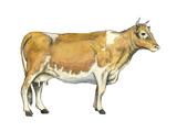 Dairy Cattle (Bos Taurus)  Mammals