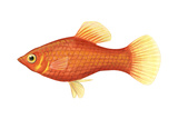 Red Platy (Xiphophorus Maculatus)  Fishes