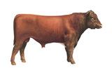 Shorthorn Bull  Beef Cattle  Mammals