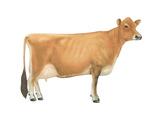 Jersey Cow  Dairy Cattle  Mammals
