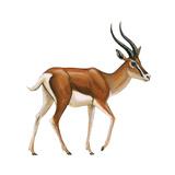 Gazelle (Gazella Granti)  Mammals