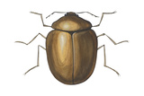 Death Watch Beetle (Catorama Punctatum)  Insects