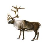 Mountain Caribou (Rangifer Montanus)  Mammals