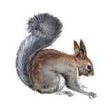 Abert's Squirrel (Sciurus Aberti)  Mammals