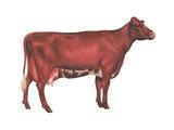 Milking Shorthorn Cow  Dairy Cattle  Mammals