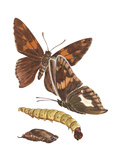 Silver-Spotted Skipper Butterfly  Caterpillar  and Pupae (Epargyreus Clarus)  Insects