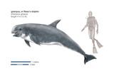 Risso's Dolphin or Grampus (Grampus Griseus)  Mammals